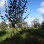 junger Obstbaum mit Sturmschaden