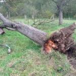 umgestürzter Altbaum